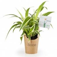 Chlorophytum - Plante personnalisable dépolluante en pot