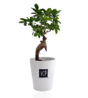 Ficus ginseng - petit format
