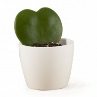 Hoya plante grasse en forme de coeur