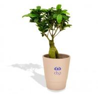 Ficus ginseng - grand format