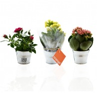 Mini plante logotée en pot zinc