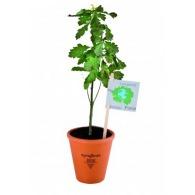 Petit plant de chêne en pot terre cuite