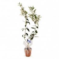 Plant publicitaire d'olivier pot terre cuite