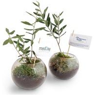 Plant personnalisable d'olivier sous globe verre