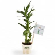 Plant publicitaire de bambou en pot bois