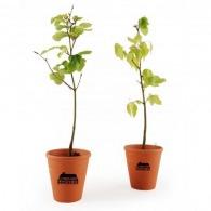 Plant de hêtre pot terre cuite