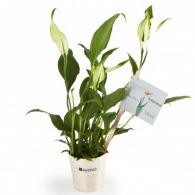 Spathiphyllum - Plante personnalisée dépolluante en pot