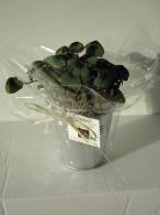 Trèfle à 4 feuilles publicitaire poussé (pot zinc 10cm)
