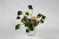 Trèfle à 4 feuilles publicitaire poussé (pot zinc 6,5cm)