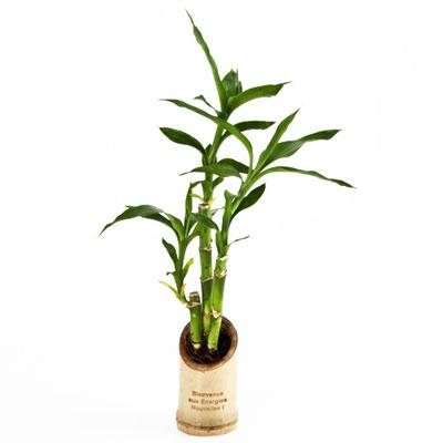 pot en bambou avec cannes chinoises personnalisable 01428v0078104 partir de 9 22 euros ht. Black Bedroom Furniture Sets. Home Design Ideas